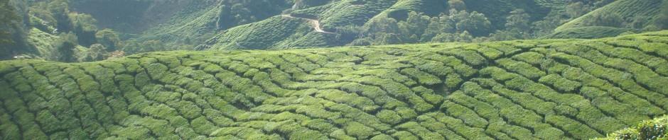 Malaysia: Teeplantage